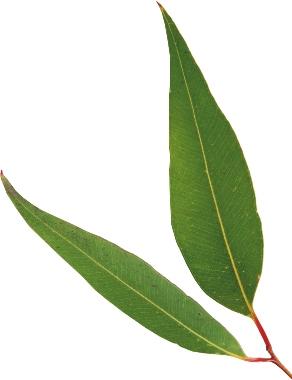 arbre del te