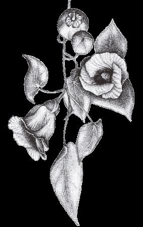Flor àcid hialurònic